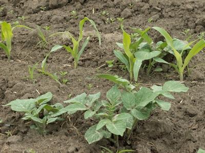 Opslag in maïs
