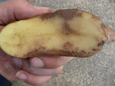 Aardappelziekte_knol